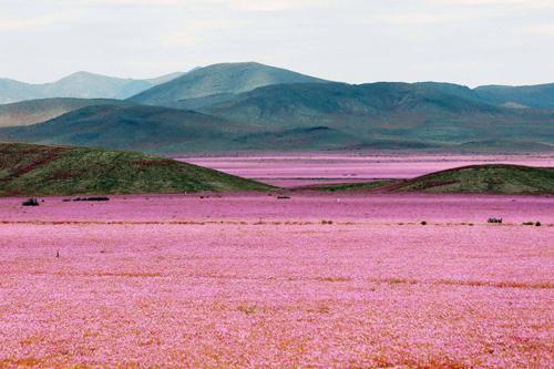 Sa mạc khô cằn 'sống dậy' phủ đầy hoa hồng lỳ lạ
