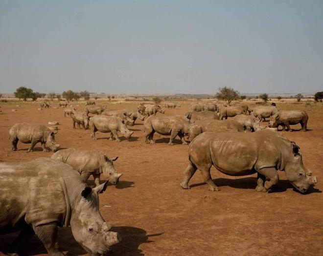 Trang trại nuôi tê giác lấy sừng lớn nhất thế giới bạn có biết?