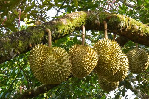 Vì sao 'Vua trái cây' vạn người yêu, ghét ở Đông Nam Á
