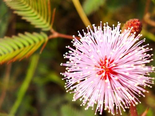 Bài thuốc chữa mất ngủ bằng cây hoa trinh nữ bạn nên biết