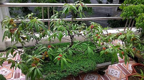 Lạng Sơn - Vườn đào sân thượng trĩu quả đẹp mắt